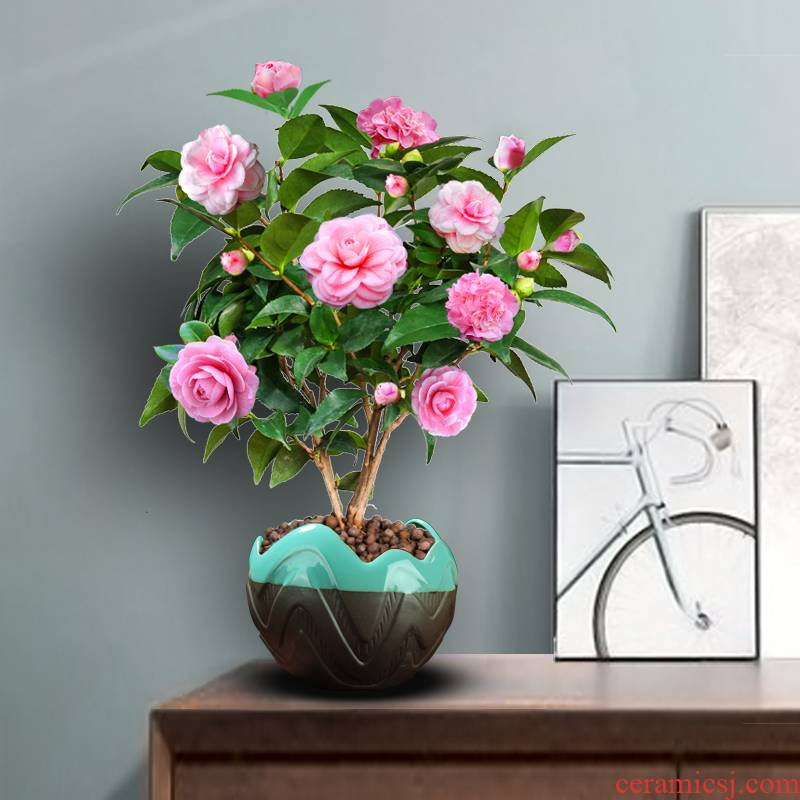 Sweet princess camellia buds seasons indoor potted luzhou - flavor to their office a courtyard balcony green plant flowers