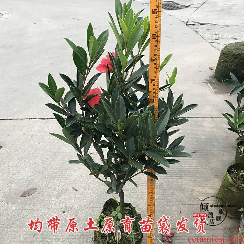 High - quality goods seasons rhododendron camellia with bud camellia flowering the plants of the four seasons summer series courtyard green plant