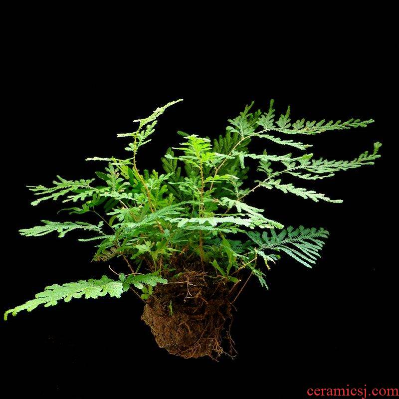 Water stone the plants die grass green plant nine dead Water stone bonsai the plants base resurrection plant Water stone
