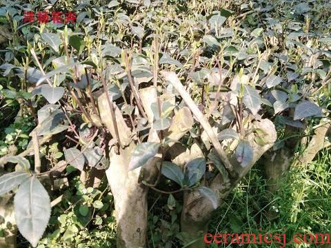 Tea tree seedlings planted Tea trees north south four seasons Tea trees bonsai y old Tea tree from running