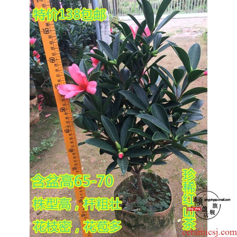 Rare camellia seasons cuckoo red camellia tea potted seedlings interior courtyard balcony green plant flowers bag in the mail