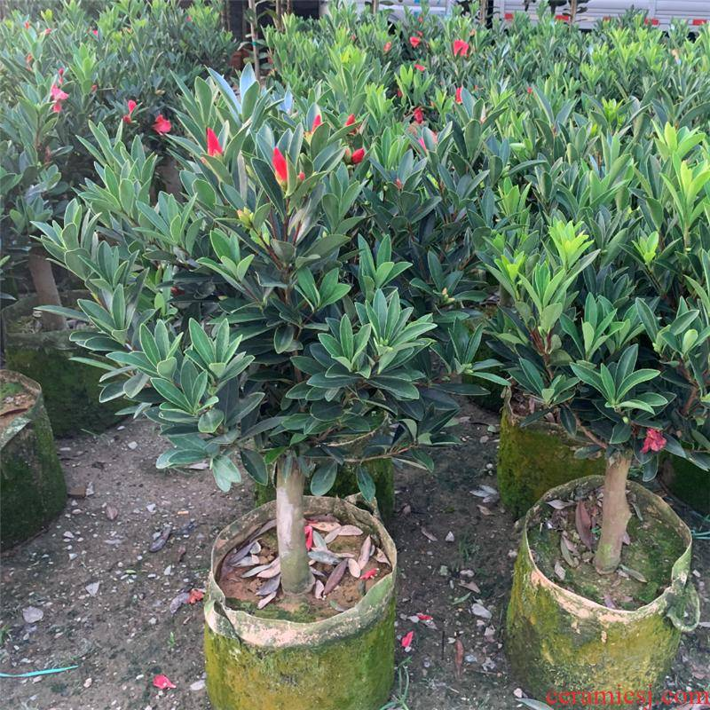 Authentic four JiHong camellia went to rhododendron camellia the plants with bud delivery of high - grade green the plants flowering y