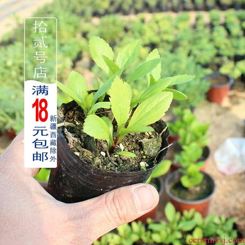Champignon injury force grass/perrin seedling fragrant plant potted seedlings flower tea, scrambled dense eggs