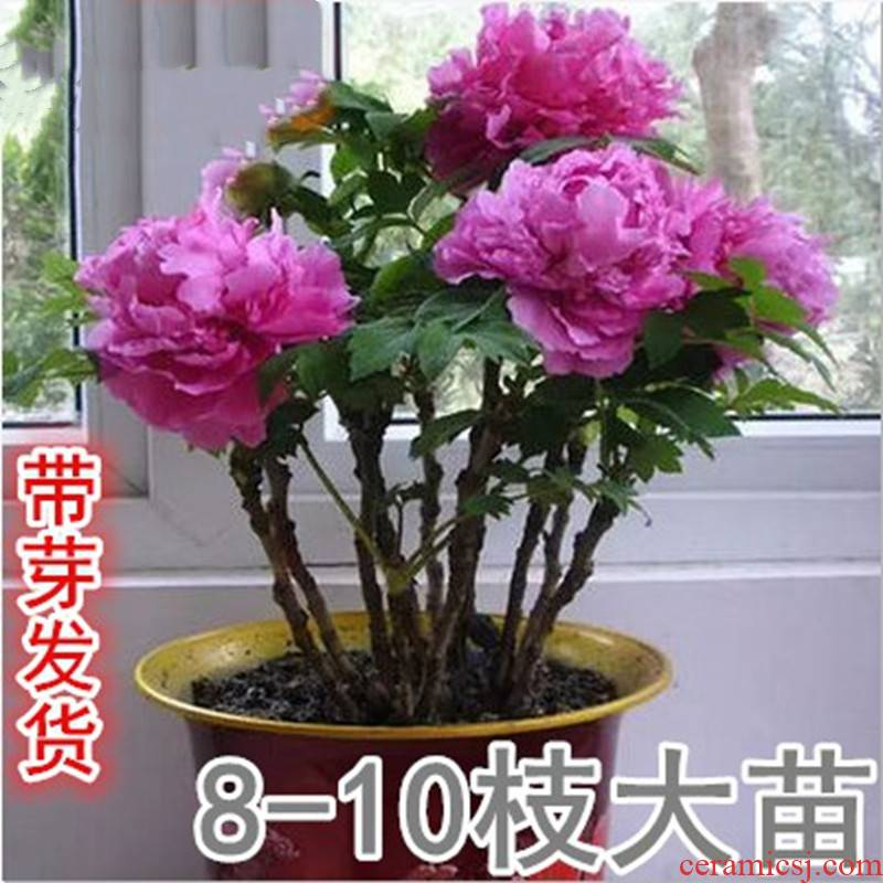Authentic luoyang peony flower seedlings and potted went fine camellia tree peony seedling four seasons garden flowers peony gentleman.