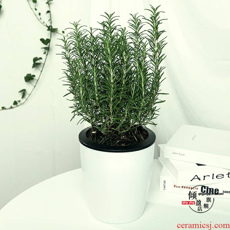 Rosemary potted fragrant green the plants to eat western food cooking tea symbolizes love the plants to clean air