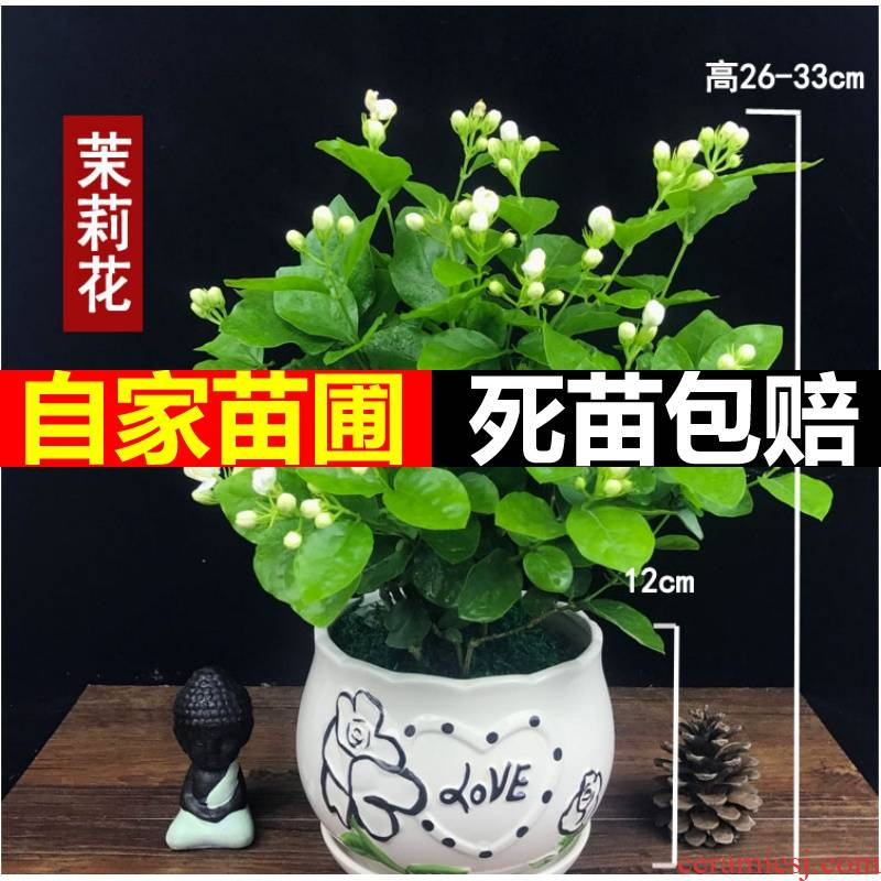Green plant heng county of origin direct mail jasmine tea seedling double white jasmine four seasons of indoor and is suing living the plants