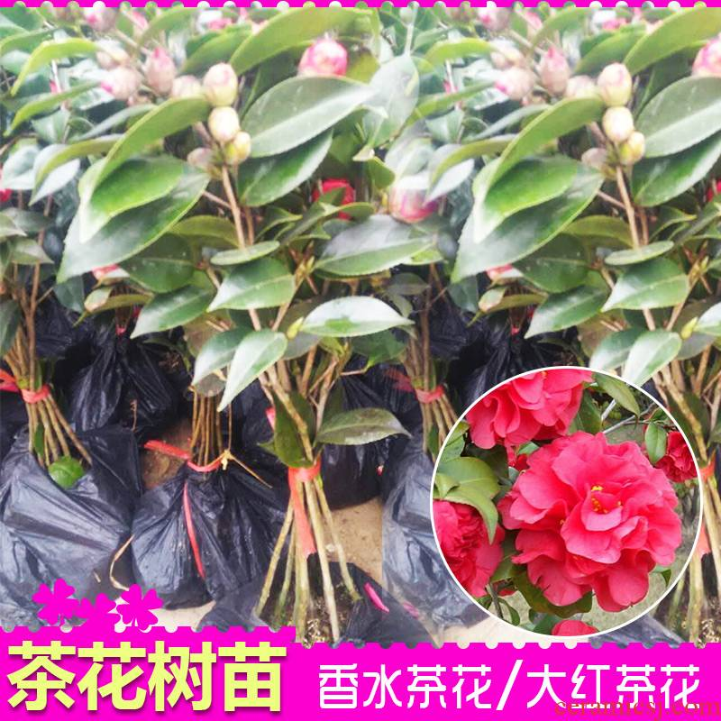 Camellia Camellia miaomiao perfume red Camellia trees high - grade potted flower Camellia the plants with buds