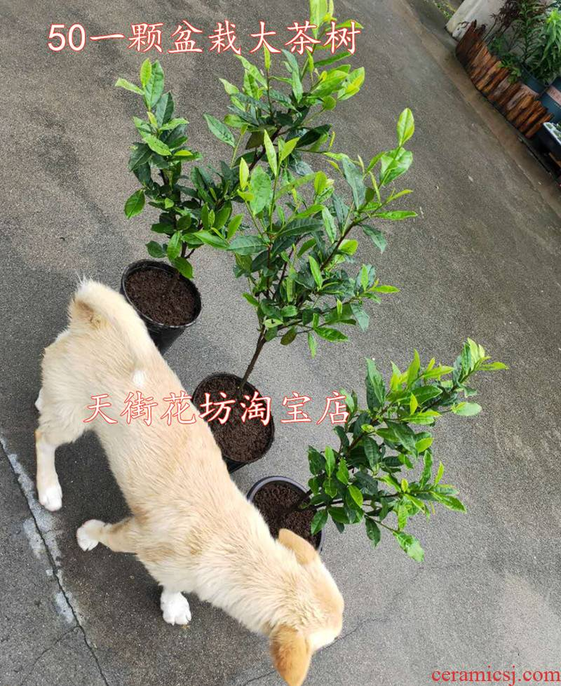 Potted hangzhou west lake longjing tea trees selected basin zone when the tieguanyin golden flower tea tree with y