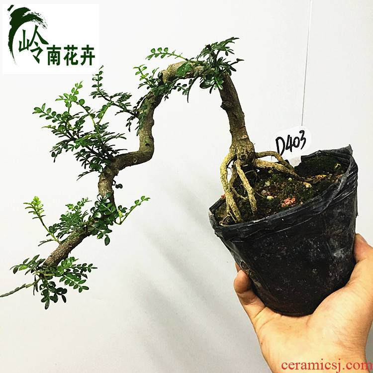 Fragrant wood bonsai indoor desktop small bonsai red sandalwood incense in nine lobules of fujian tea old running the bonsai