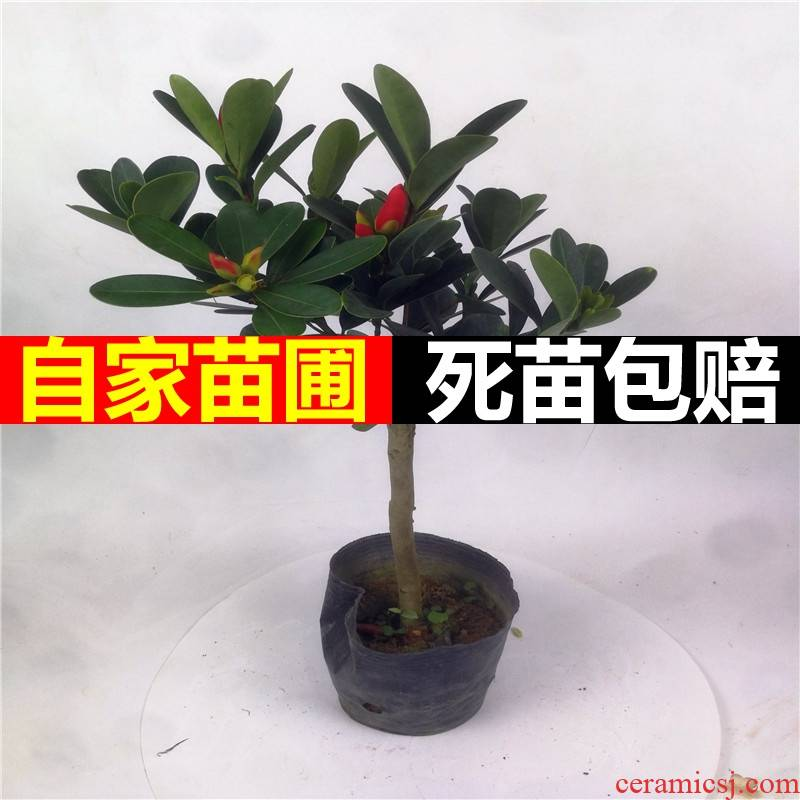 Four seasons green plant rhododendron camellia flowers potted grafting the nice flowers, green potted a balcony is suing the court