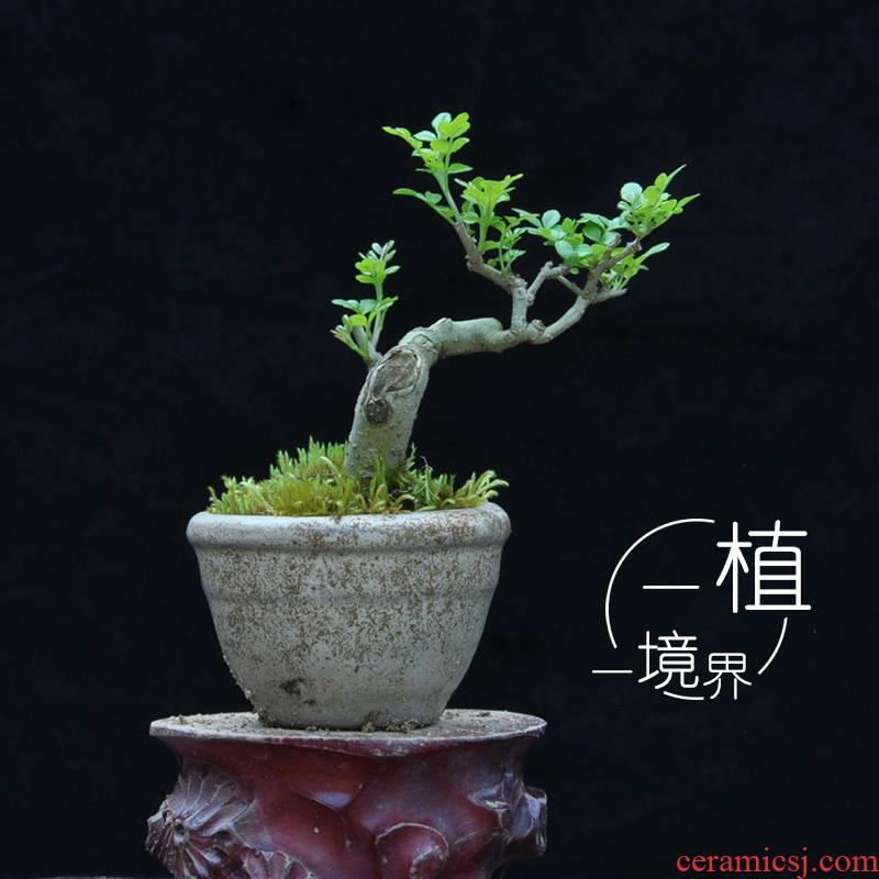 Ash bonsai pot section for small pewter micro miniature bonsai desktop miniascape green the plants make tea