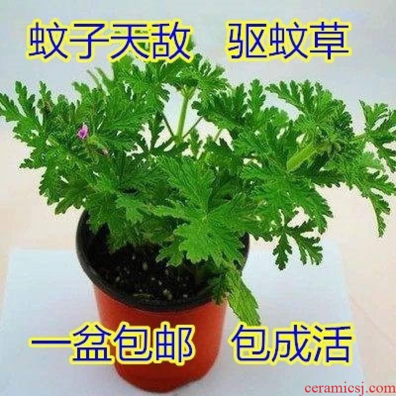 The table mosquito net vanilla surface drive midge fresh mint The plants small bonsai pot fragrance bottle tea table