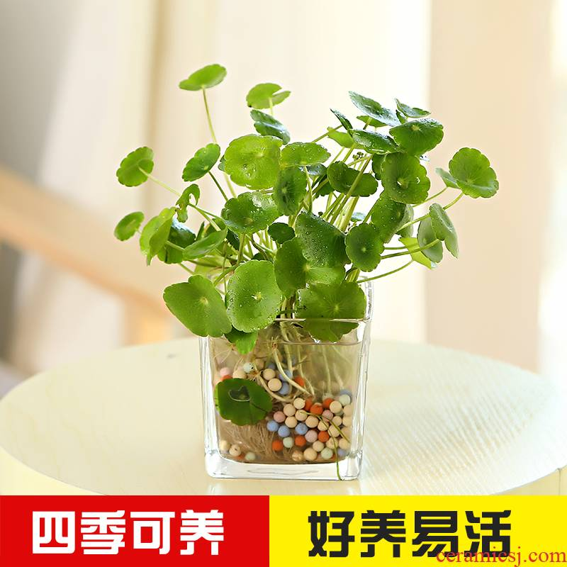 Copper money plant water glass suits for soil culture grass in the plants ceramic basin anti - radiation indoor flower of bracketplant of y