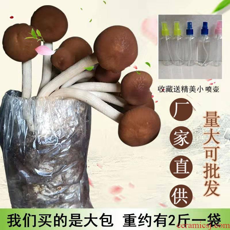 Tea tree mushroom strains of bacteria package 】 family indoor large planting fresh mushroom farmer specialty edible fungus