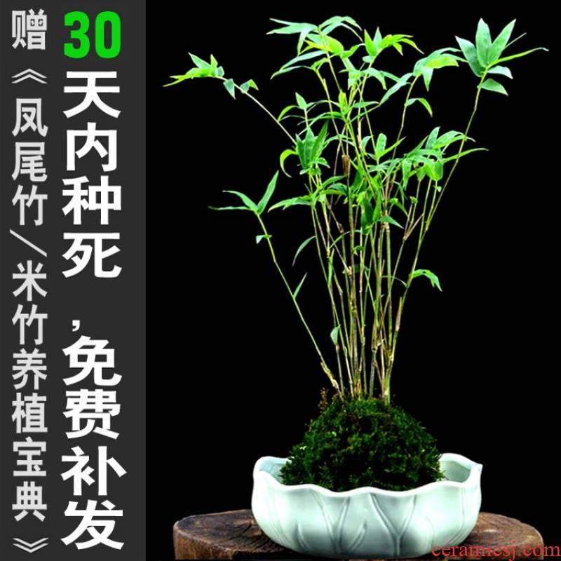 Cucurbit flute m bamboo bonsai pot bamboo mini plant small bamboo shoot indoor green plant tea table balcony gardens on the table