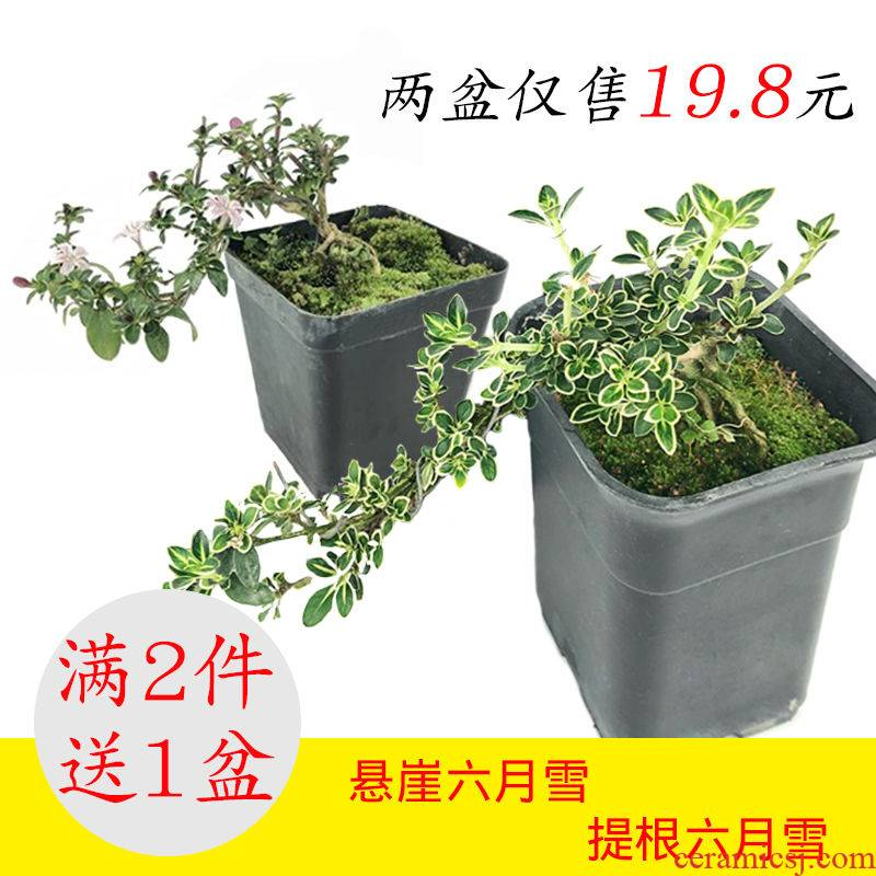 Mention root June snow in fujian, camellia small bonsai old seedlings indoor potted the plants cliff stump bonsai sitting room