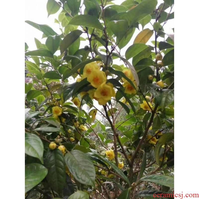Fangcheng gold gold flower tea trees golden flower tea tree ChaMiao PuJinHua tea tree down proof tree buds