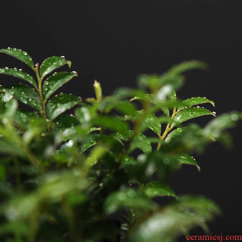 Lobular rosewood long black ipads tea bonsai tree stump indoor potted flowers, green plant, cold - resistant evergreen the plants