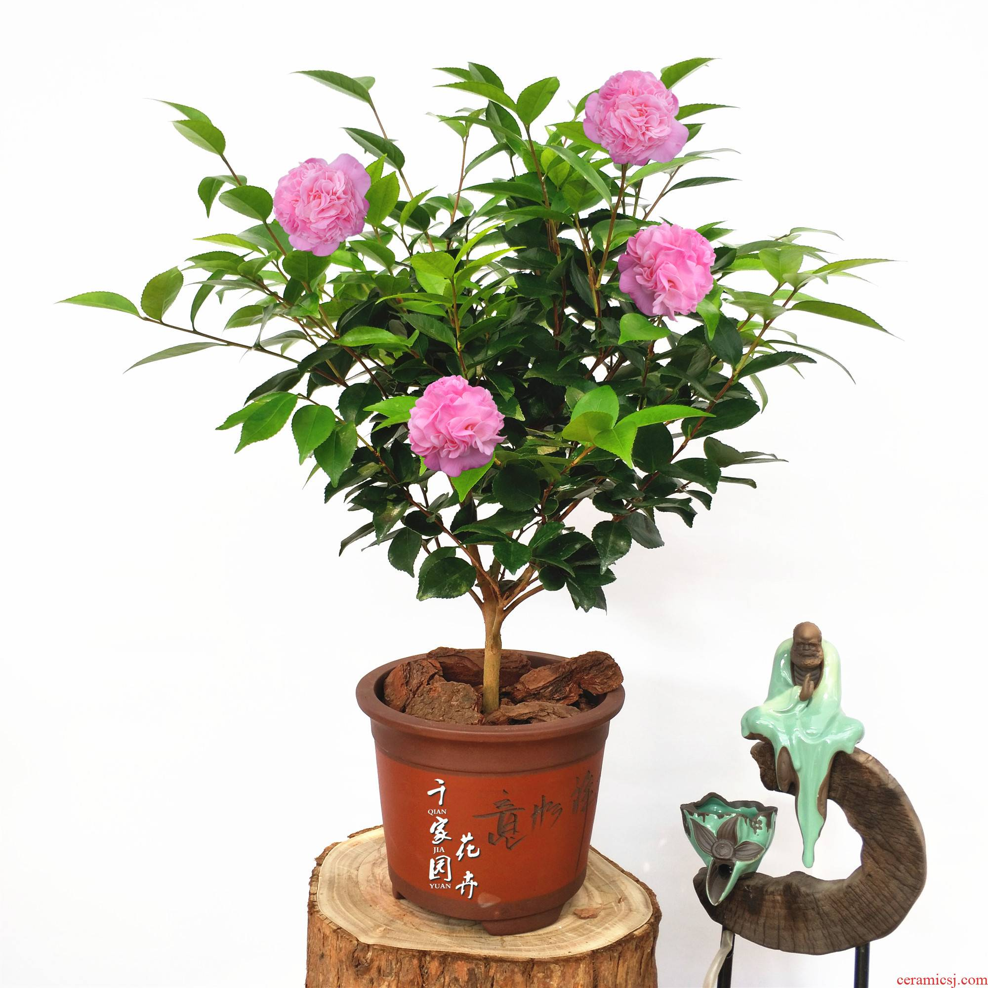 Thousands of homes fierce fragrant flowers sweet princess camellia 】 【 camellia potted seedlings luzhou - flavor, four seasons evergreen garden balcony