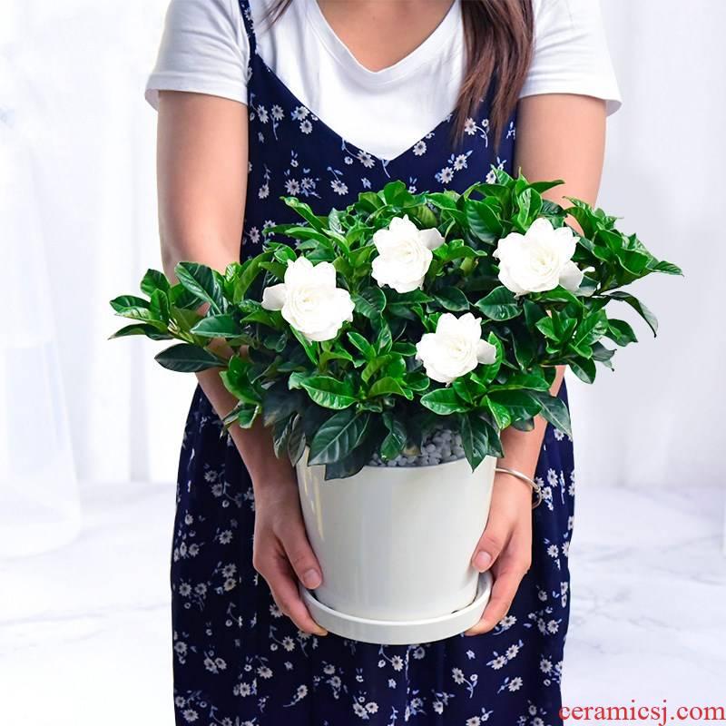 Gardenia bonsai with bud flowering seasons office balcony flower plant flowers miniascape green plant ceramics