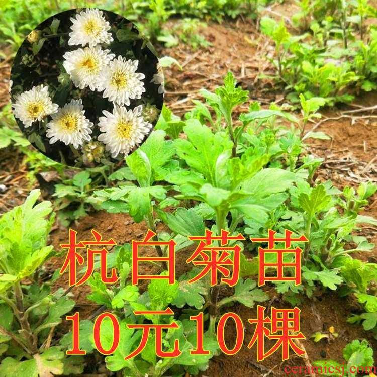 Hangzhou white by seedlings edible by MiaoGen tire by ChaMiao seedlings courtyard balcony potted flower cultivation bag in the mail