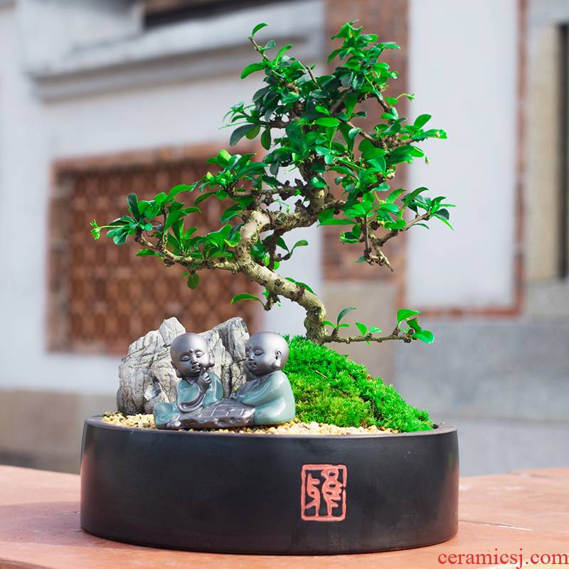 Lobules of fujian tea tray landscape bonsai the plants indoor potted flowers sitting room bedroom evergreen purify air of green plant
