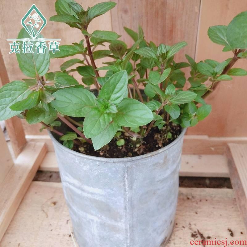 Candy mint edible mint vanilla seedling vanilla tea pot cooking ornamental potted mint green plant flowers