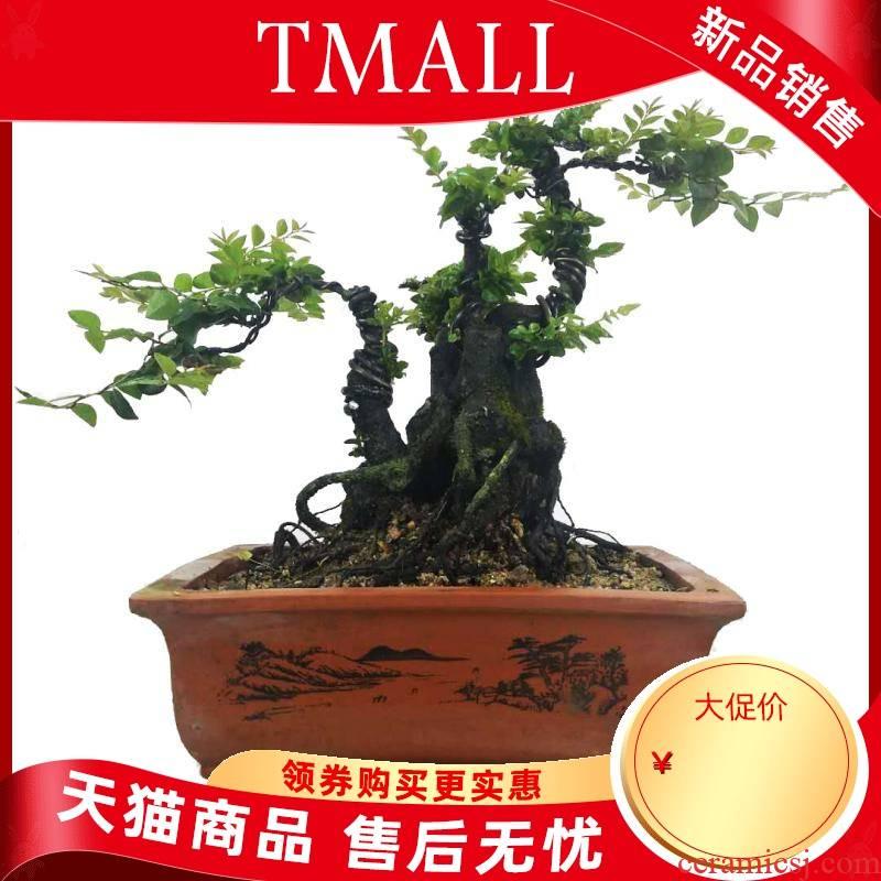 Lingnan bonsai modelling lobular rosewood pot black ipads tea town curtilage have indoor evergreen hardy green plant