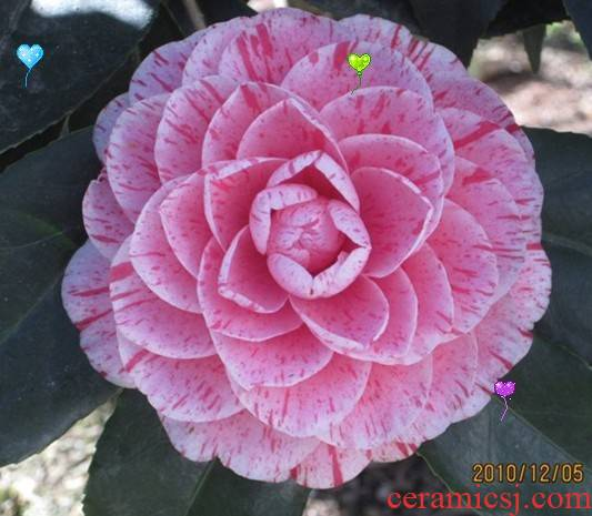 The color red camellia seedlings flower pot red Dan Dan variation in a year or two seedling origin direct sale promotion