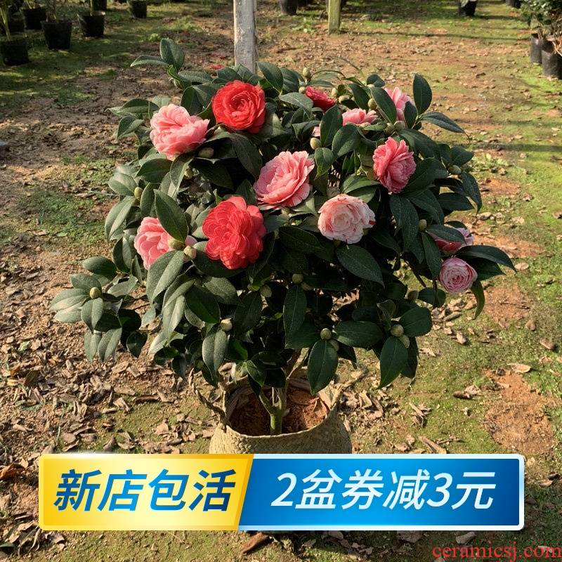 Potted five colours red Dan four seasons tea pot everblooming camellia seedlings gold flowers princess luzhou - flavor