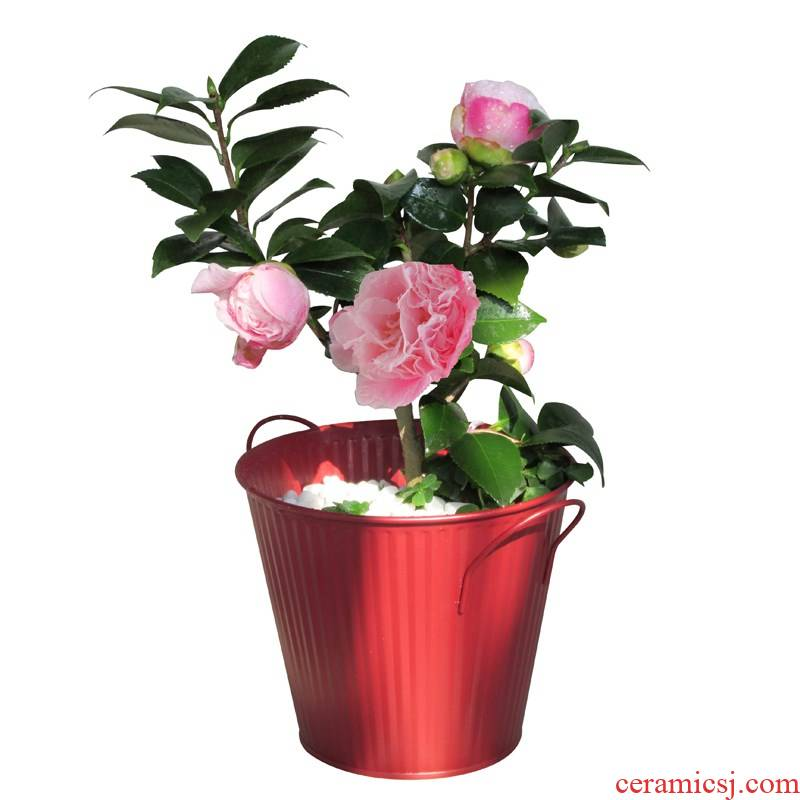 Camellia trees small potted green plant flower plant cold - resistant luzhou - flavor five - color Camellia with flower buds in those days