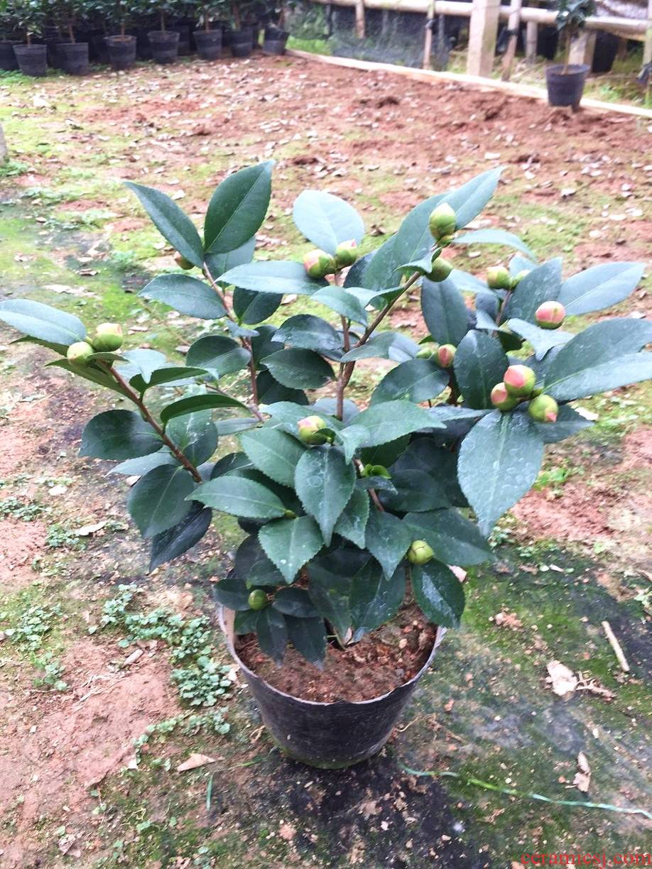 Camellia flowers princess tea Camellia the plants trees in fujian longyan rare flower garden balcony xiang xiang Camellia