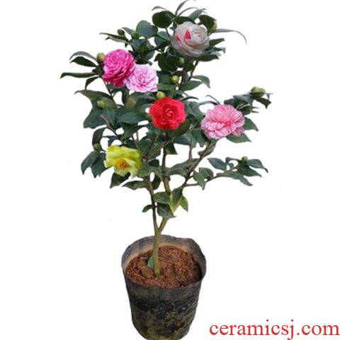 The four seasons flower camellia trees blossom put indoor and is suing flowers potted The plants are hardy The original soil live good