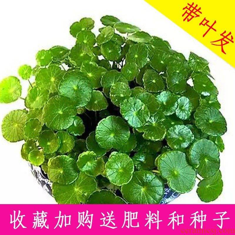 Hydroponic caocao cooper porcelain basin water raise creative Ye Zitong money grass evergreen aquatic the plants potted green y