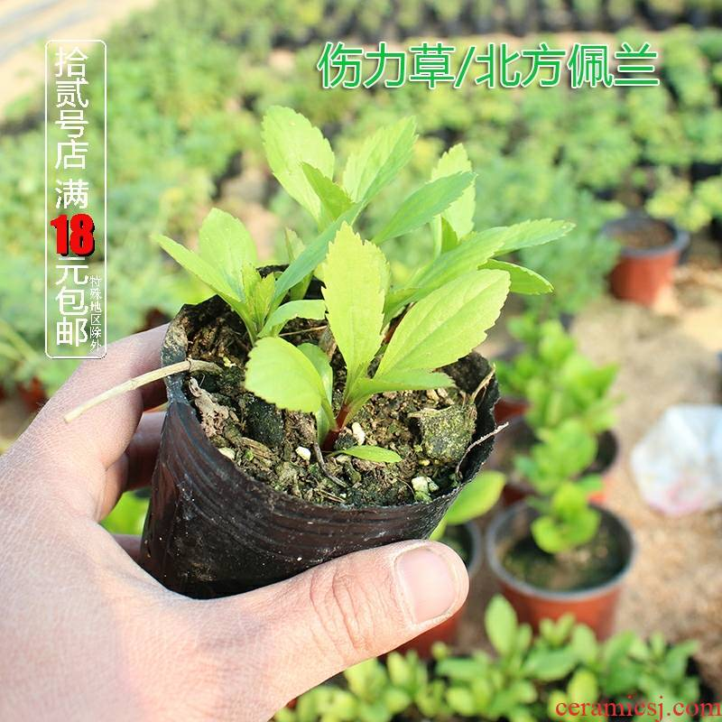 Vanilla tea, eating potted plant injury force MiaoPeiLan miao scrambled dense eggs flowers fragrant grass/