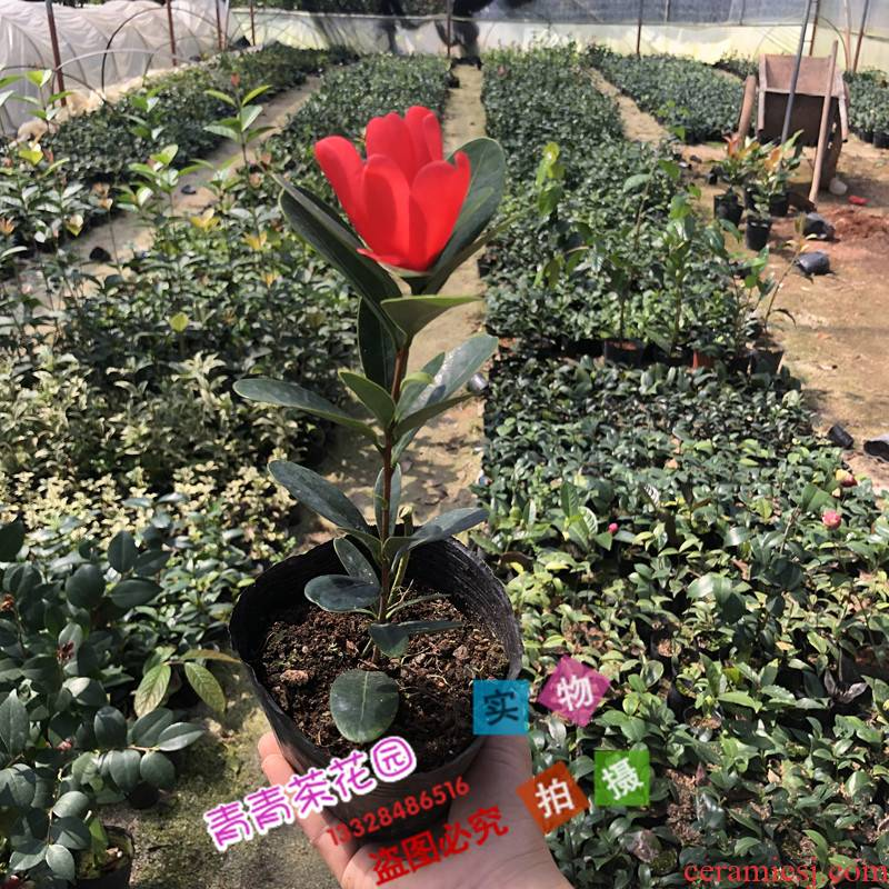 Four seasons cuckoo hongshan open unbeaten rhododendron camellia camellia seedlings flower pot camellia seedlings with buds shot bag in the mail