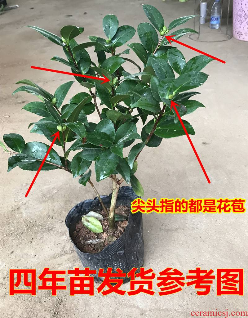 Camellia tree potted north four seasons rhododendron Camellia balcony woody flower plant good an inset jades