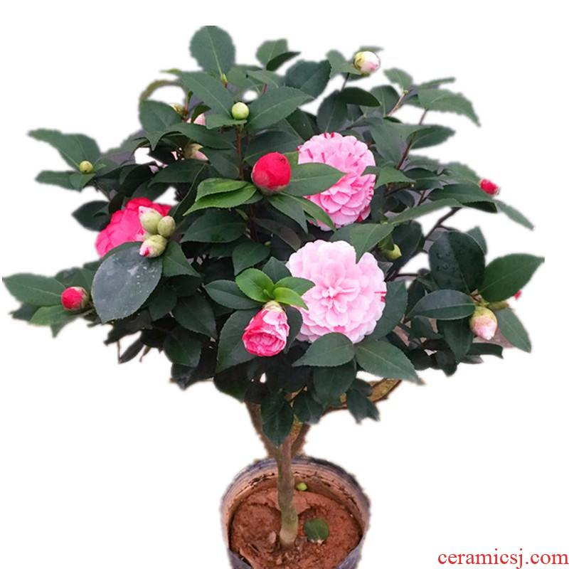 Fujian five - color red red red camellia bonsai Dan danehill camellia trees wining a tree color green plant flower buds