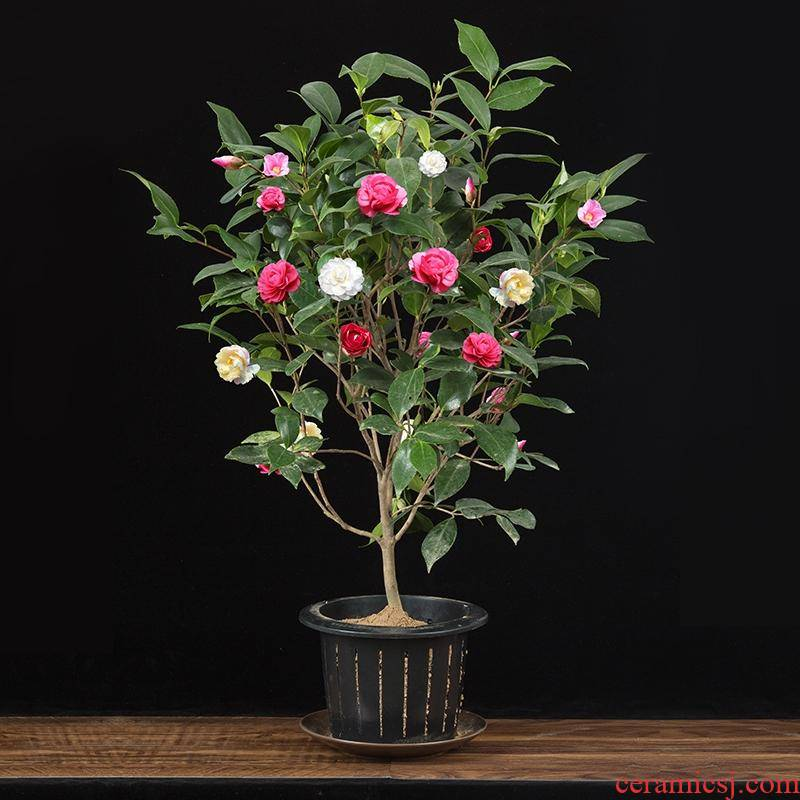 Camellia tree seedlings and potted with bud rare 18 th bachelor of interior hardy good raised four seasons flower Camellia blossom put