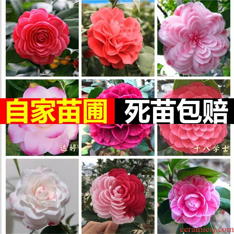 Green plant camellia bonsai double four seasons flower camellia trees five - color constantly red Dan took buds indoor good raise