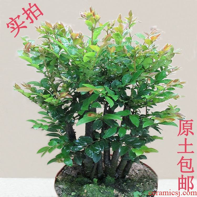Many green plant bonsai the plants lobular indoor desktop red sandalwood red sandalwood ebony trees flowers and black ipads stump tea