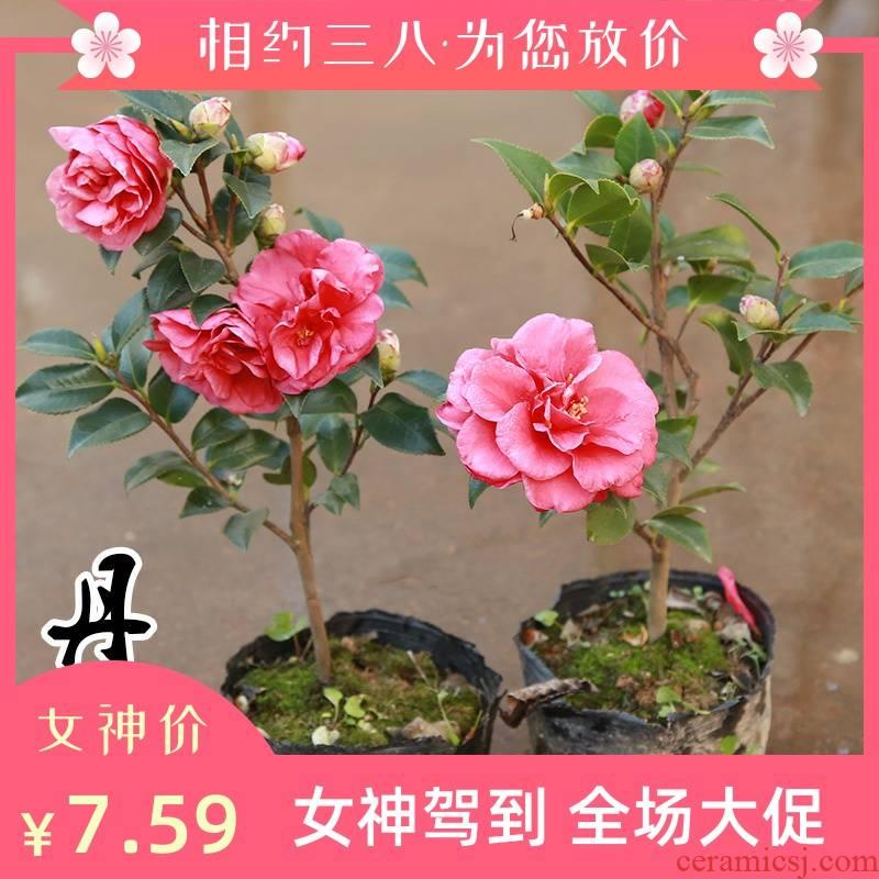Tea varieties of name plum trees mammon Dan name plum flower seedlings in the four seasons green jade showa Tea plant bonsai flower Tea pot
