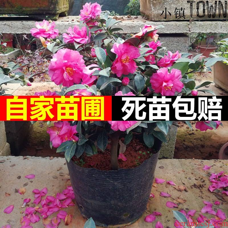 Tea, green Tea name plum tree flower seedlings in storehouse MeiQiu courtyard camellia mammon white powder black Tea name plum bonsai planting seasons