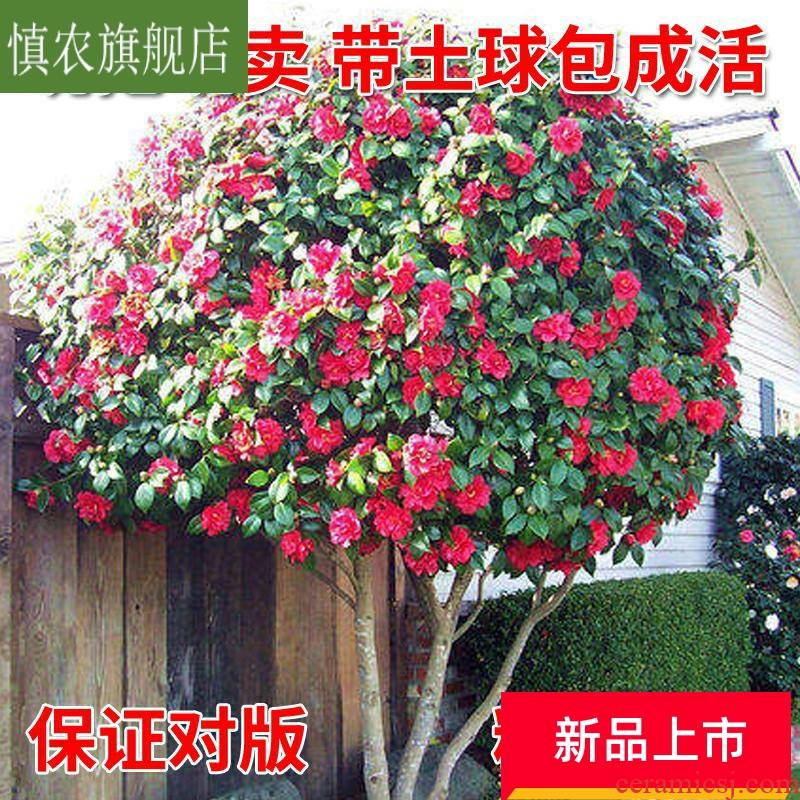 Evergreen cold - resistant camellia seedlings courtyard large green plant camellia tree seedlings with bud potted plant camellia tree