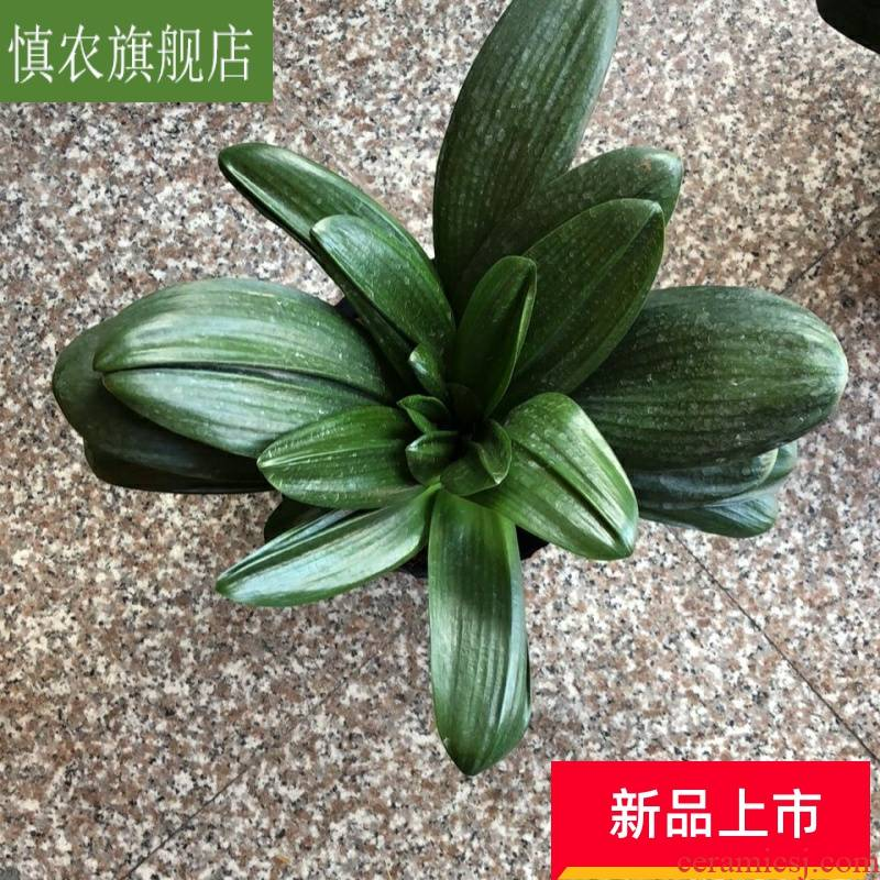 Guanyin base turn blue luck clivia potted flowers indoor living room office desktop high - end of the four seasons green plant
