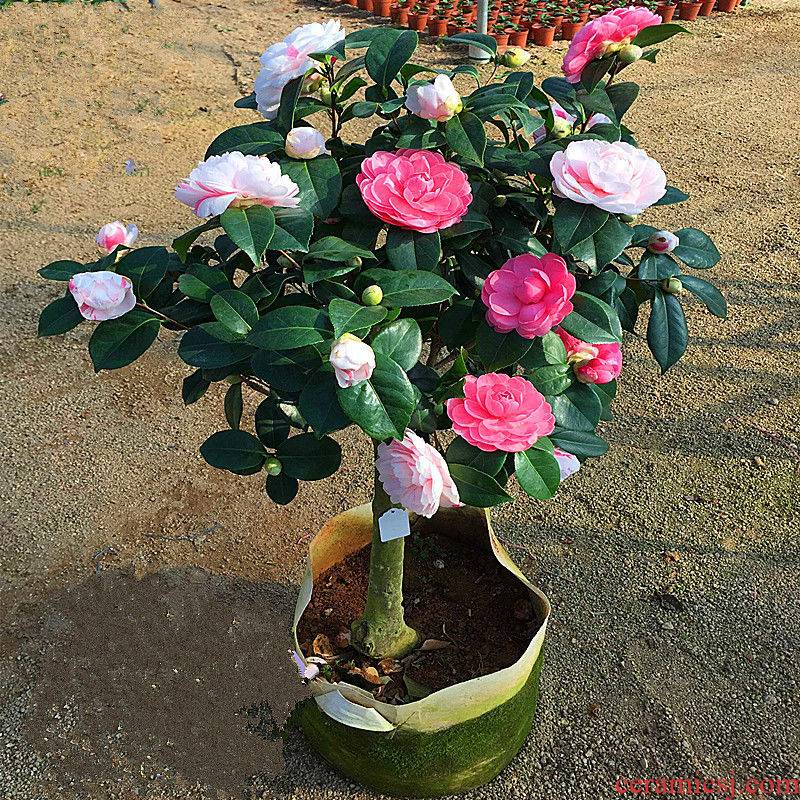 The The original soil delivery deficit danehill camellia seedlings when The flowering trees and potted 18 bachelor 's four seasons, The plants potted The plants